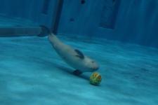 沈ボール見つめる仔イルカ