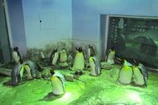 抱卵しているオウサマペンギン