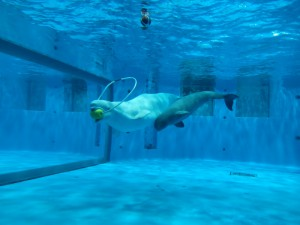 口にくわえて泳いだり