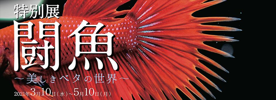 特別展 闘魚~美しきベタの世界~」